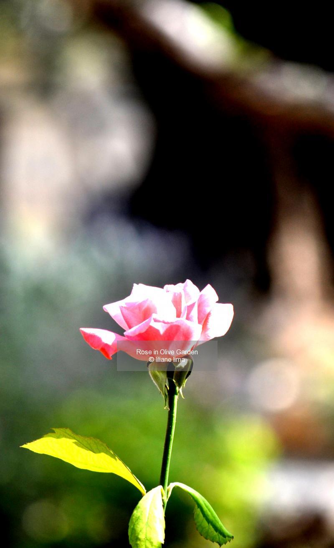 Rose in Olive Garden