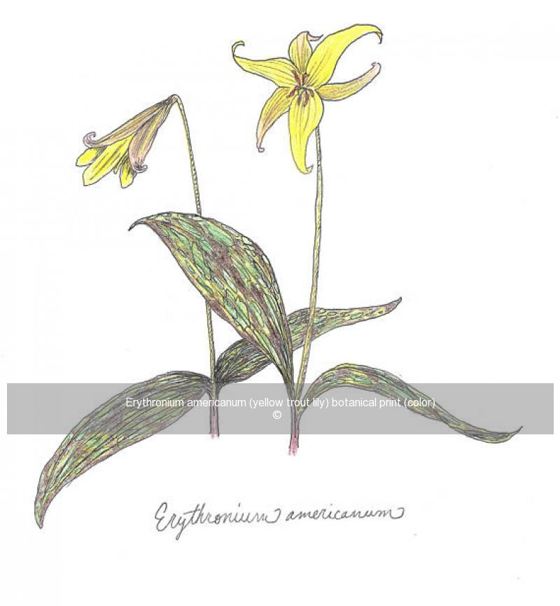 Erythronium americanum (yellow trout lily) botanical print (color)