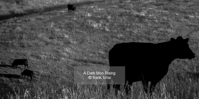 A Dark Moo Rising