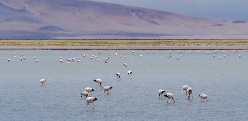 Flamingos in Atacama Desert (Chile)