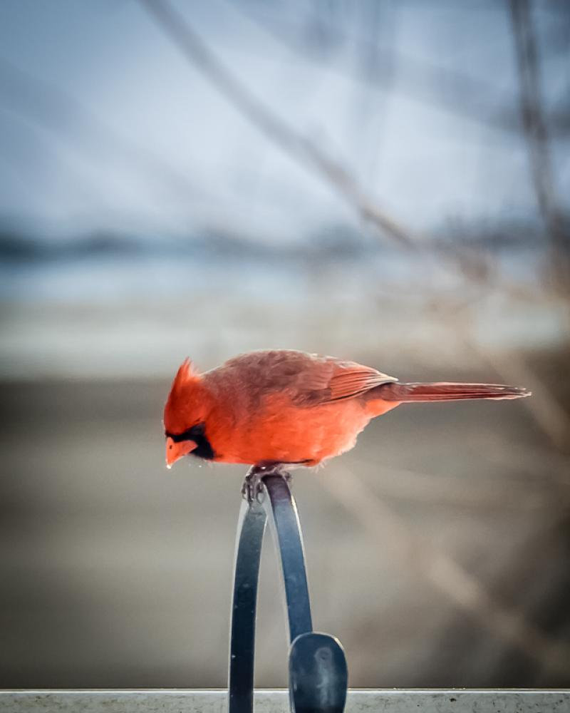 The Cardinal before the Snow