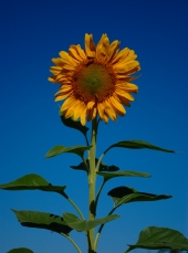 Home-Grown Sunflower