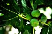 Figs in Jordan