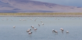 Flamingos in Atacama Desert (Chile)