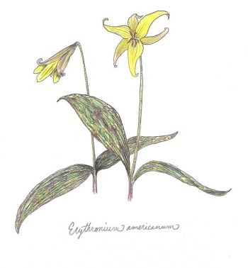 painting titled Erythronium americanum (yellow trout lily) botanical print (color)